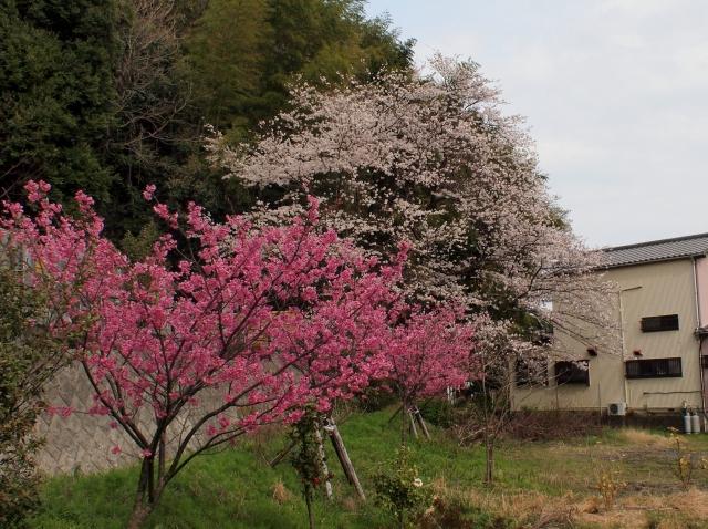 観音山墓地の桜140403