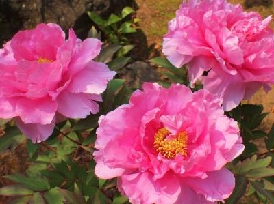 東光寺中庭の花140418