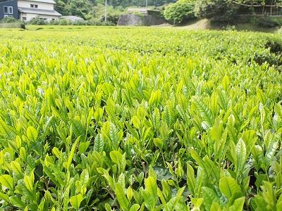 茶摘み体験140503