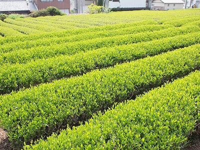 茶摘み体験1405032