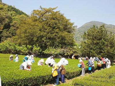 茶摘み体験1405034