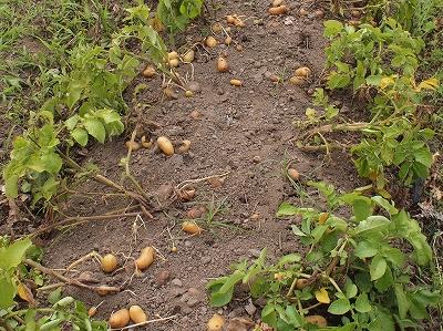 ジャガイモの収穫140614