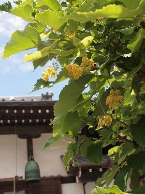 菩提樹201406091