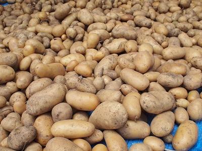 ジャガイモの収穫1406143