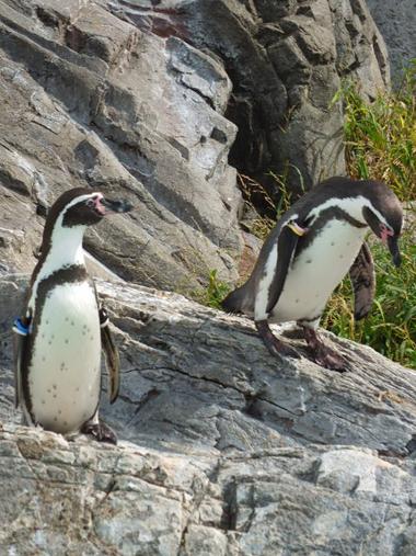 9フンボルトペンギン1010