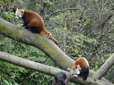 Zoo-Redpanda