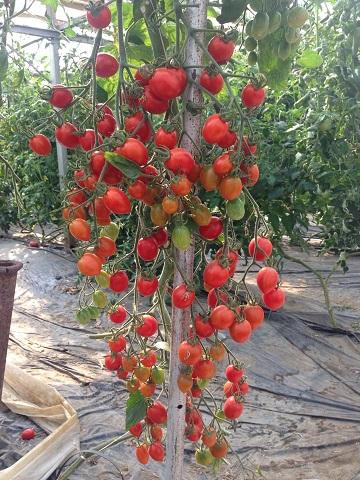 トマトハウス②