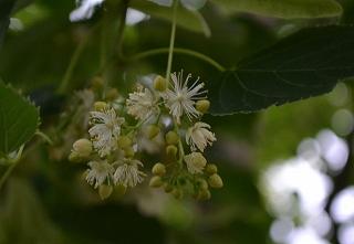 DSC_0118(73)(1)シナノキの花