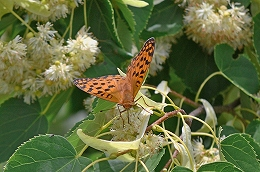 DSC_0150シナノキの花タテハチョウ