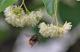 DSC_0168シナノキの花ハチ1(1)