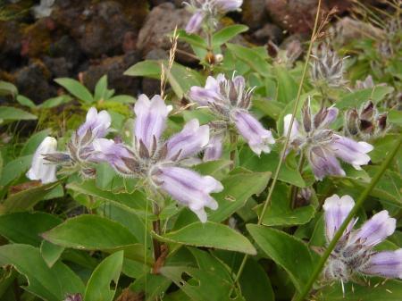イワブクロ、タルマエソウがまだ咲いていた。