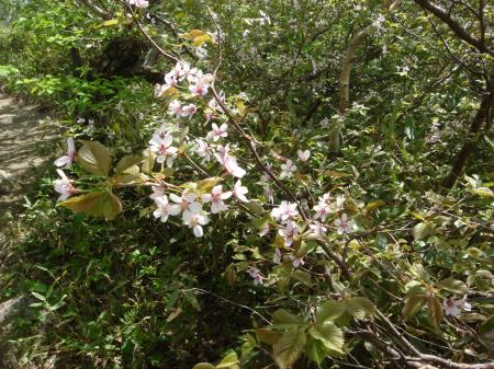 山頂手前の山桜は見頃でした。
