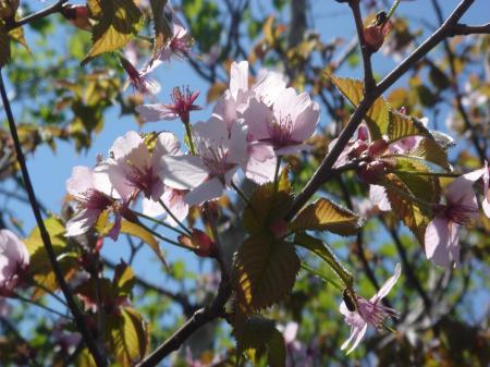 山頂左奥の桜は見頃でした。