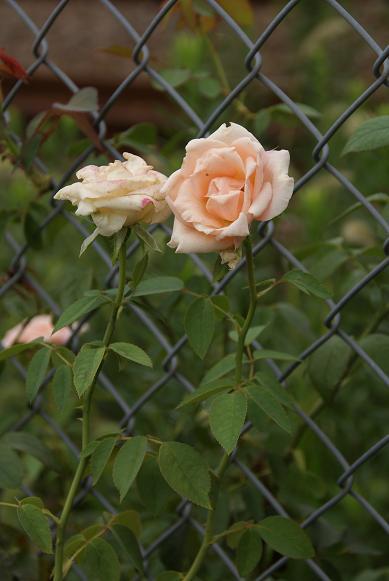 線路脇の花1