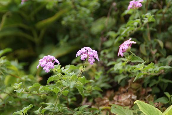 線路脇の花2