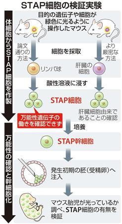 STAP細胞の検証実験