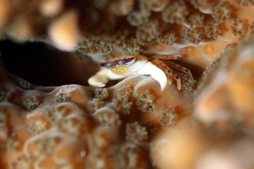 ヒメサンゴガニの一種