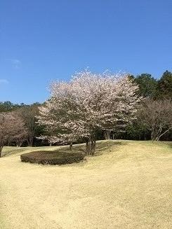 140414サミット桜