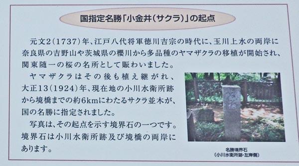 小金井桜の起点 案内