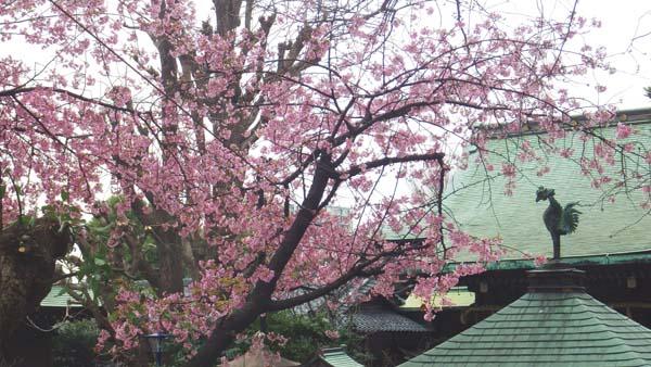 五条天神社での大寒桜