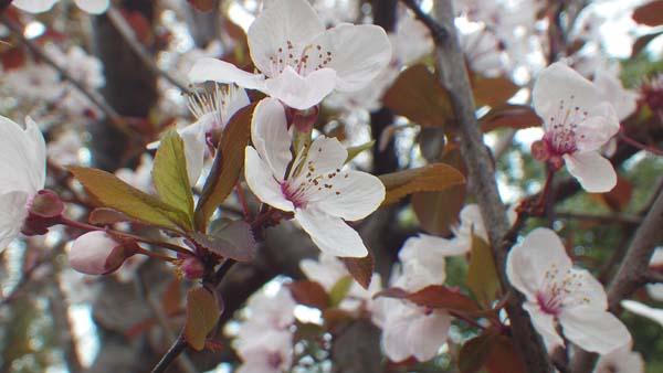 赤葉桜(アカバザクラ)