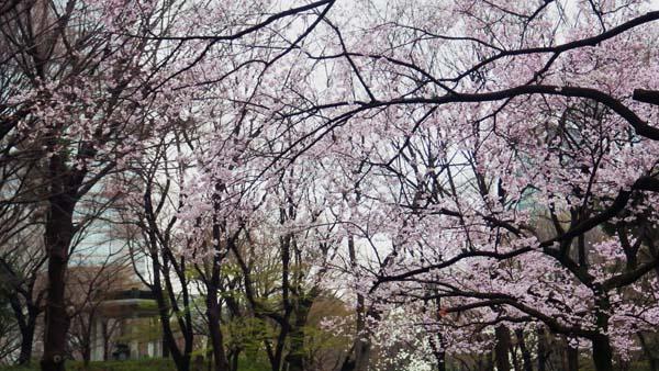 新宿中央公園のタカトウコヒガンサクラ