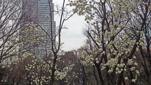 新宿中央公園で映えるハクモクレン