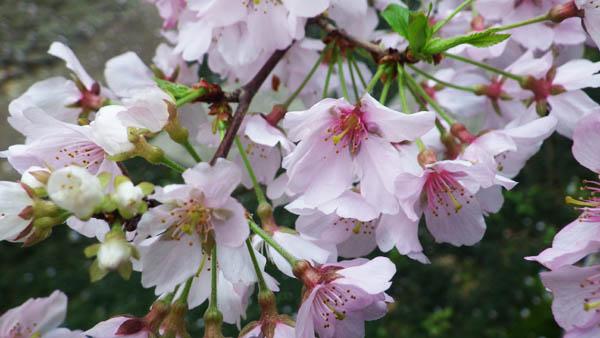 歴博のタカトオコヒガンザクラの花びら