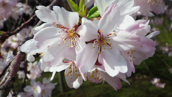 後楽園の桜の花びら