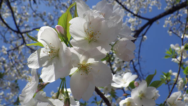 御苑の大島桜