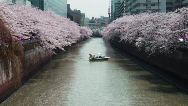 太鼓橋から目黒川の桜