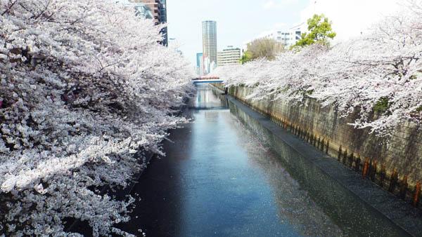 目黒川の両面に桜
