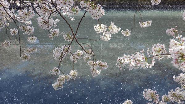 目黒側の桜と川面