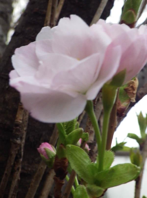 桜 天野川