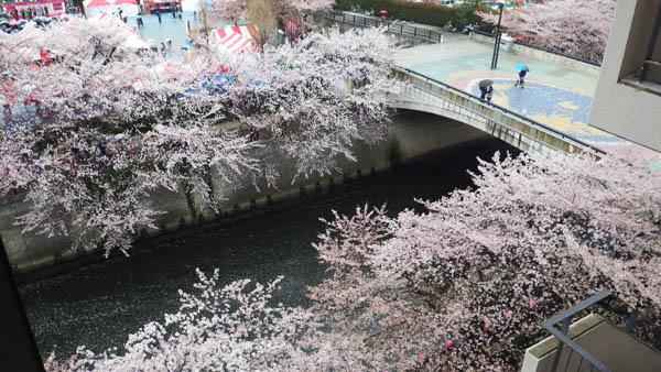 目黒川。上から見た桜