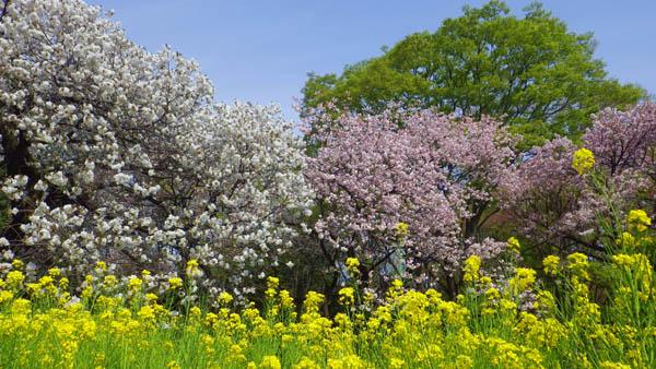 小金井公園の桜と菜の花