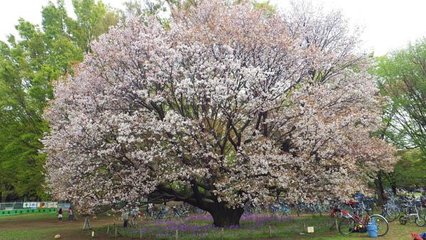 小金井公園の大きな大島桜
