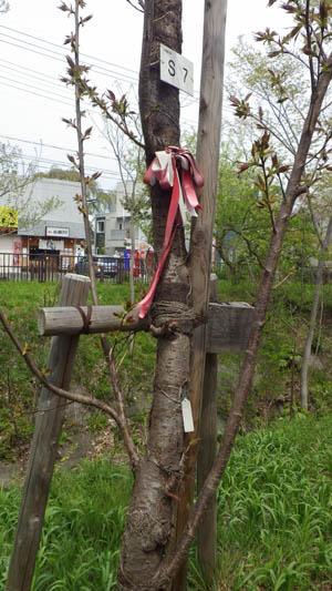 玉川上水に新しく植えられている桜の木