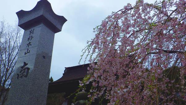 高野山 桜 南院