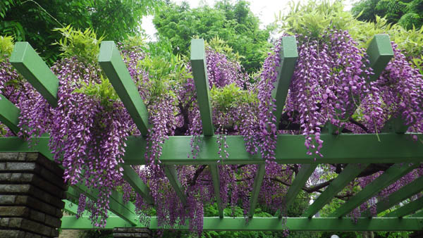 牛込 中町公園の藤の花