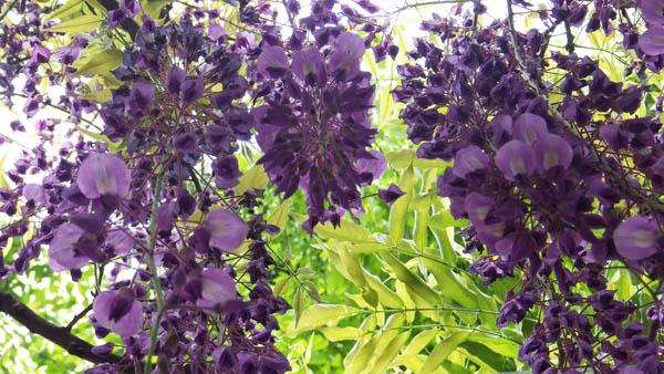中町公園の藤の花アップ