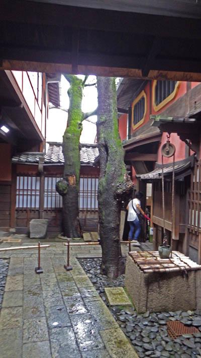 樹齢200年の槐(えんじゅ)の大木2本