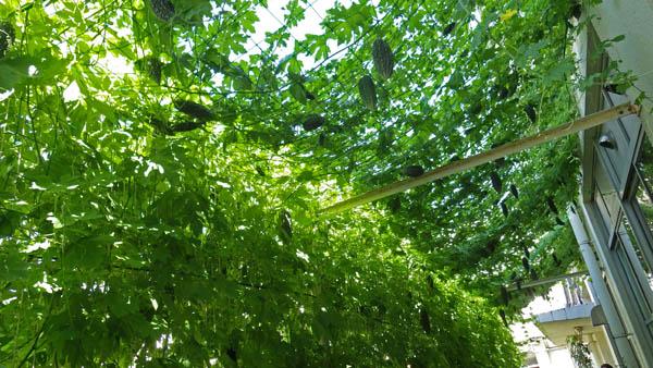 新宿の小学校の緑のカーテン