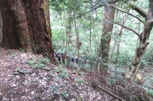 杉林を登る