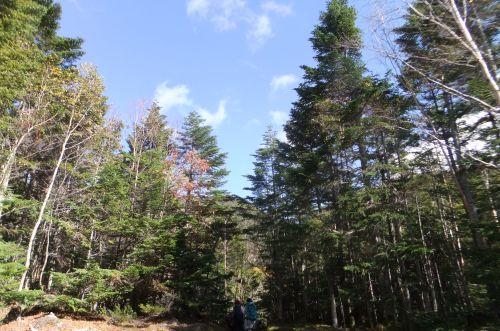 針葉樹林と青空