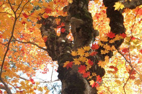 カエデ大木