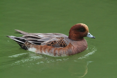 wigeon-male2013