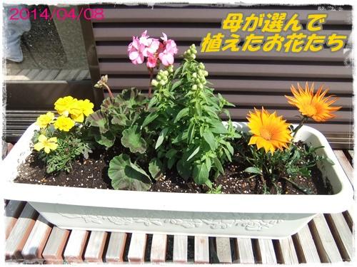 2014_0409タァと花と0008