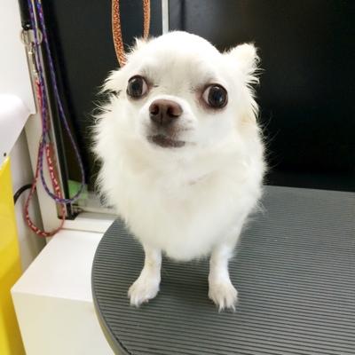 ワラウイヌのblog , プルくん(ロングコートチワワ)