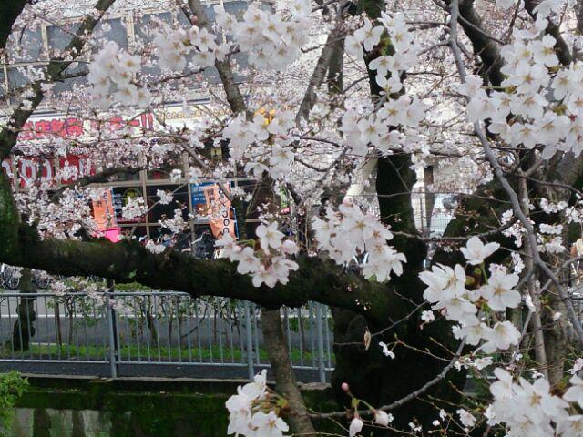2014桜雨2